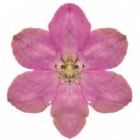 http://www.carolinanitsch.com/files/gimgs/th-21_21_day-101-pink-clematis.jpg